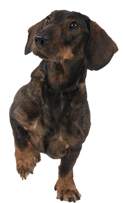 Hundeportrait Rauhaardackel